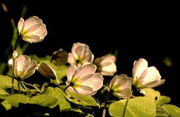 Sauerkleeblüte