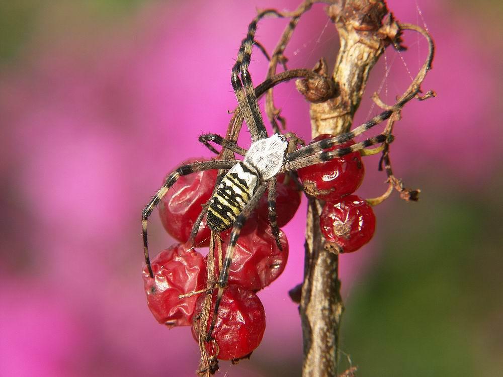 Sauerländer Wespenspinne