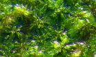 Sauerstoff kann man sehen (Sph. cuspidatum)