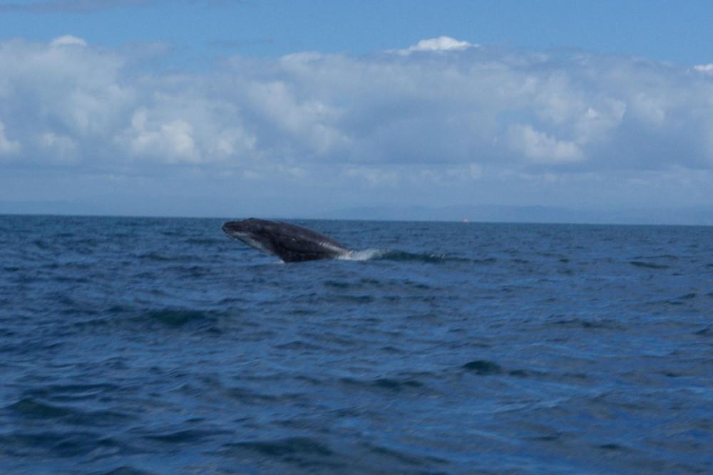 Saut d'un baleineau
