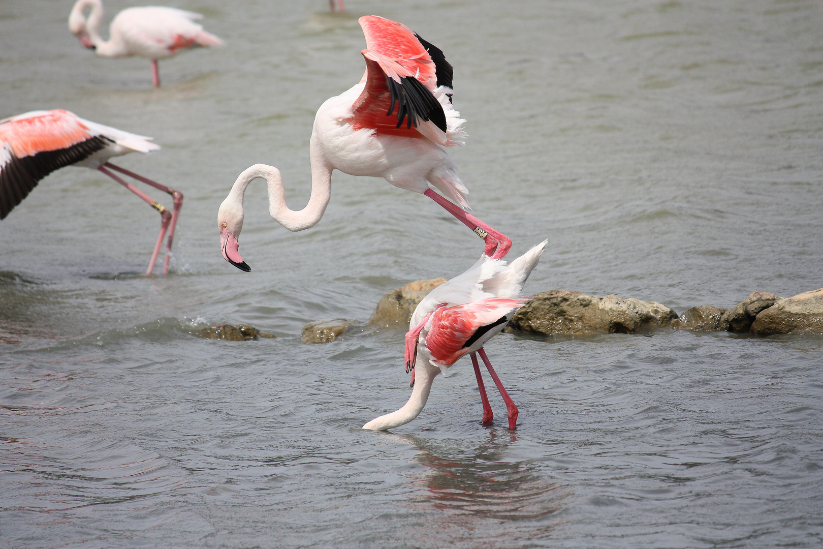 saute flamand rose....