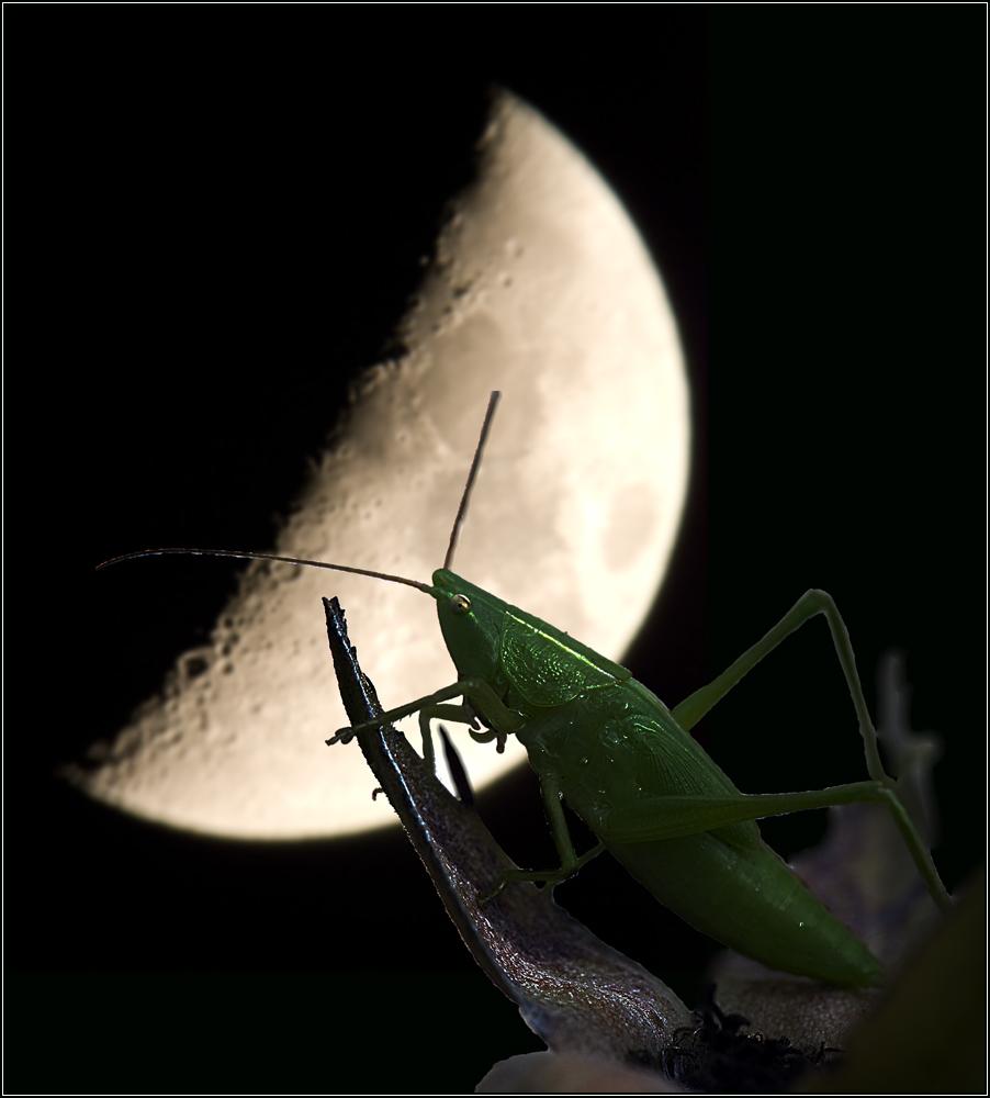 Sauterelle à la lune