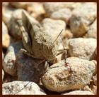 sauterelle caméléon
