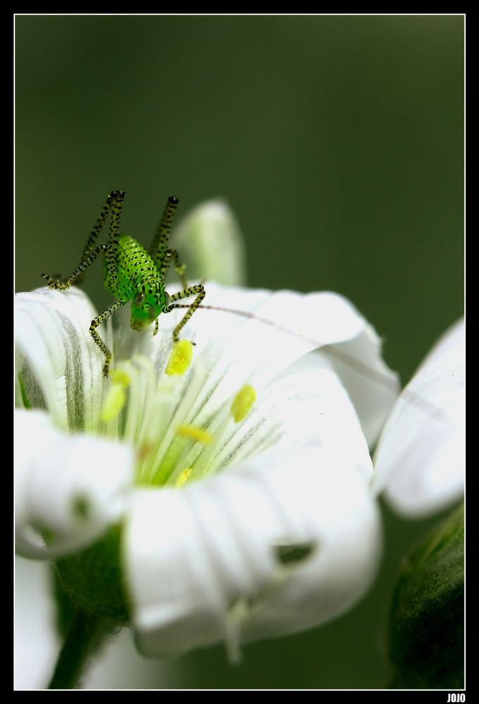...Sauterelle de mon jardin...