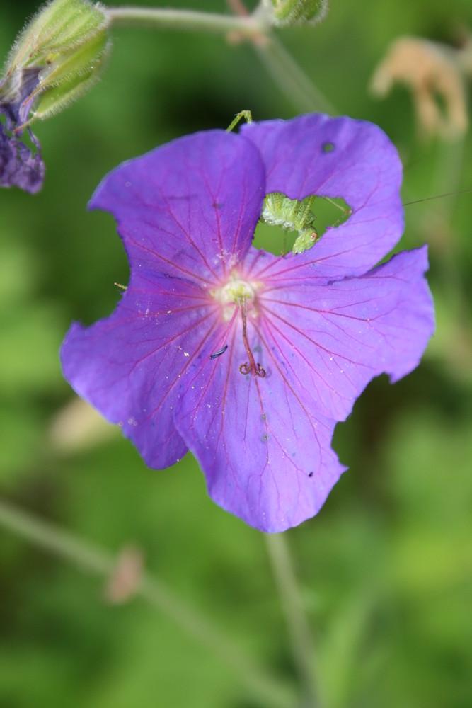 sauterelle dévorant une fleure