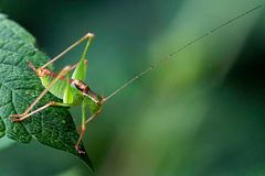Sauterelle : Leptophyes punctatissima mâle (Phanopteridae)