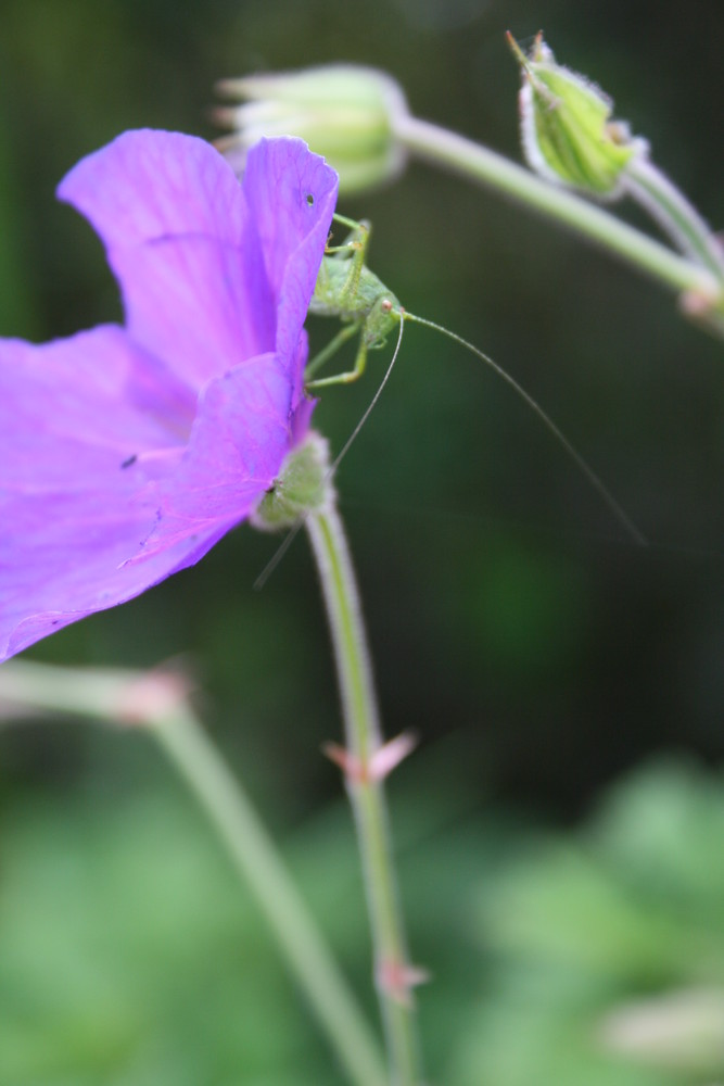 Sauterelle sur une fleure
