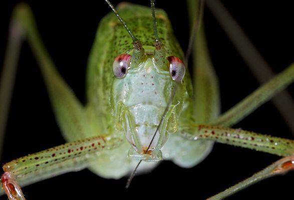 sauterelle verte