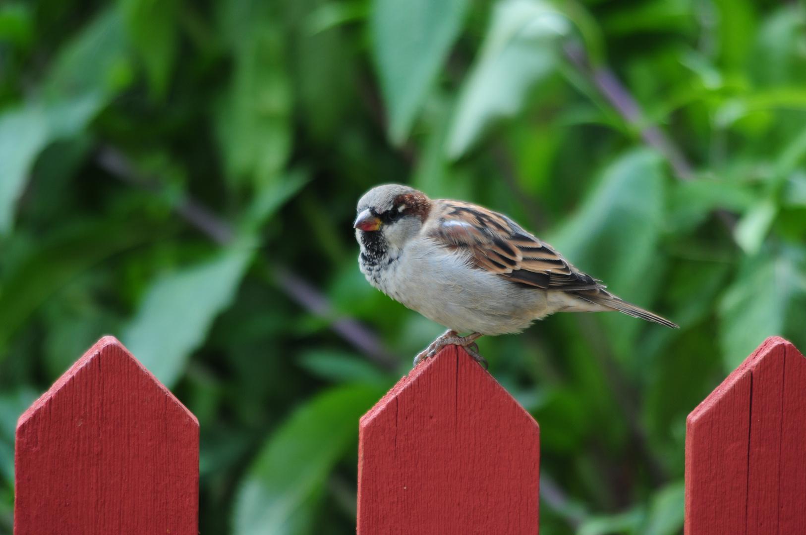 save the house sparrow - schützt die haus sperlinge