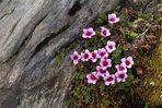 Saxifraga oppostifolia