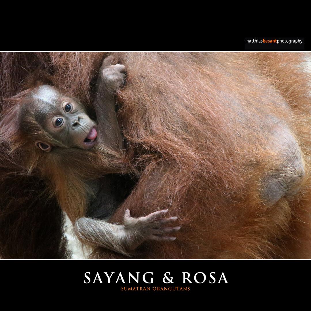 SAYANG & ROSA