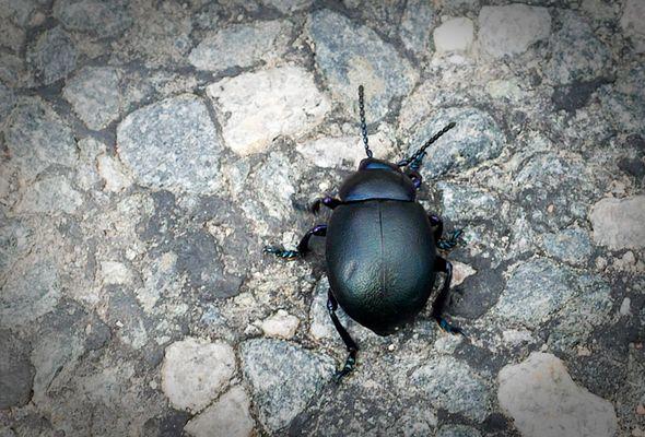 scarabe