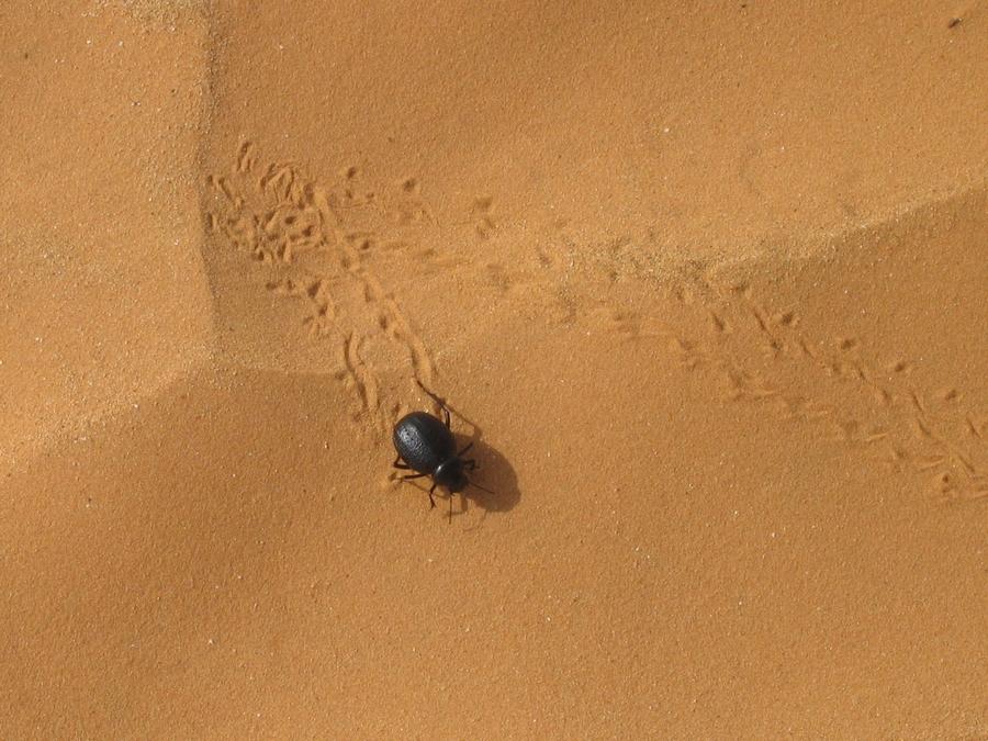 scarabé du désert