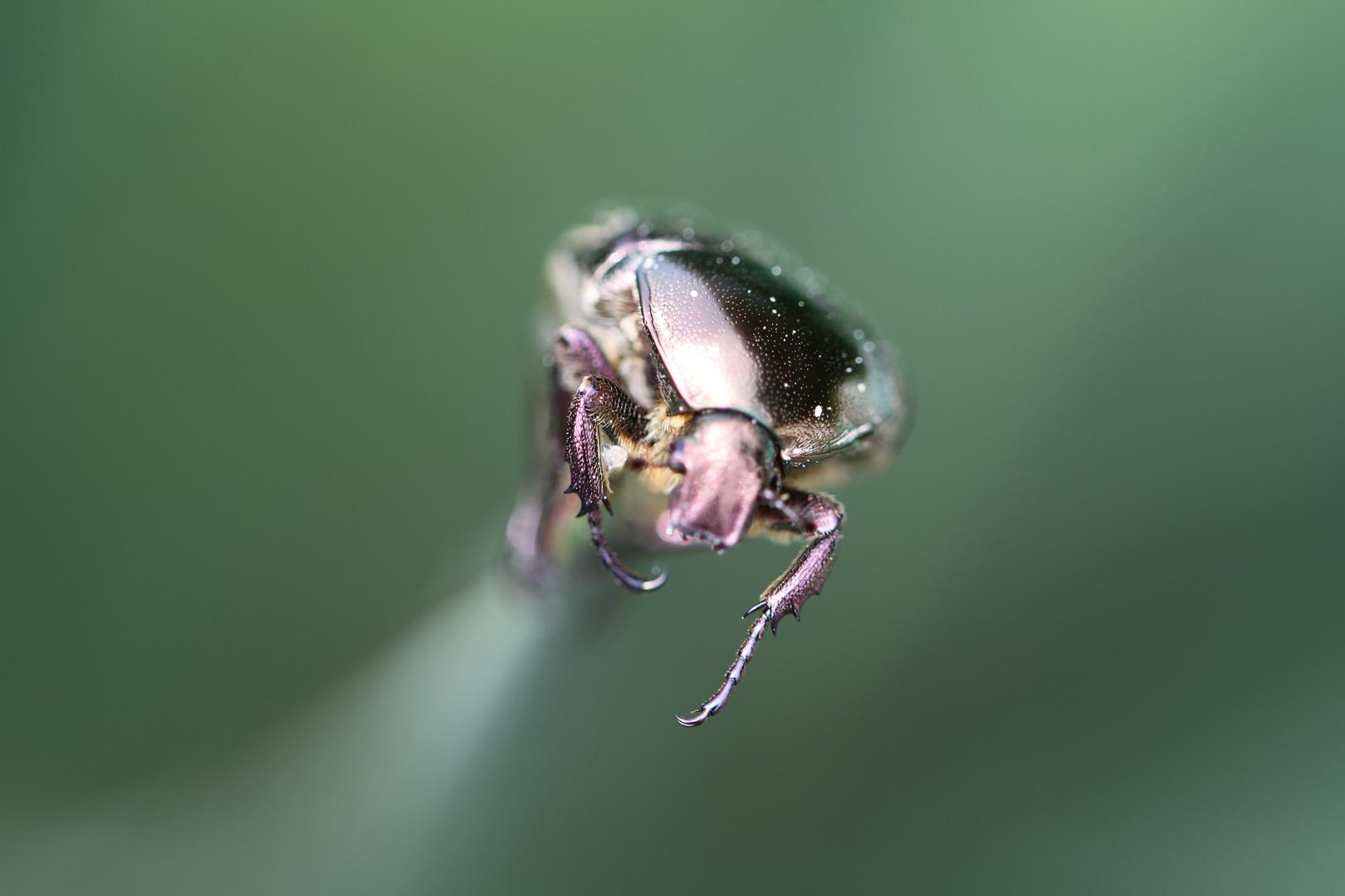 scarabée d'avril