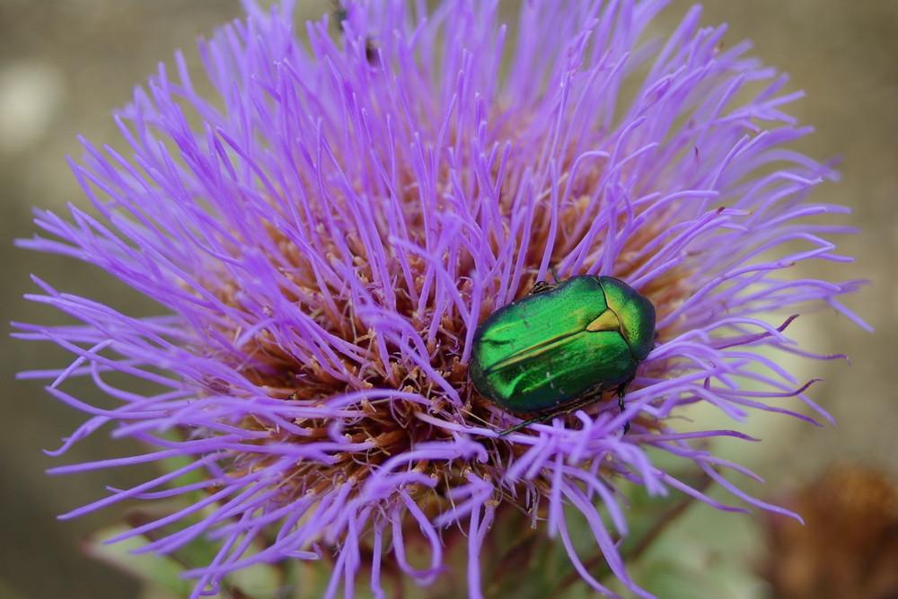 scarabée et chardon