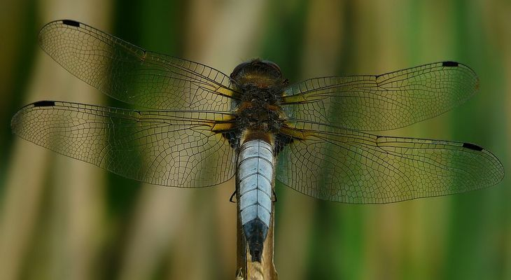 Scarce Chaser (male)