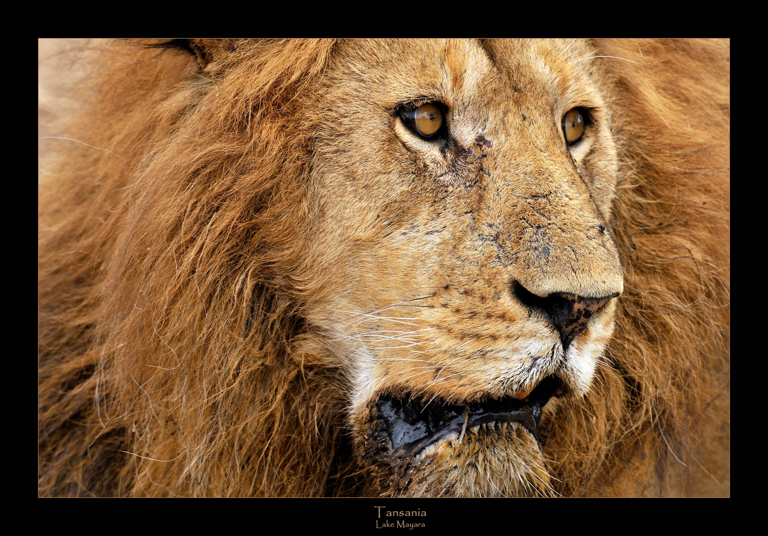 - Scarred Lion in the Wild -