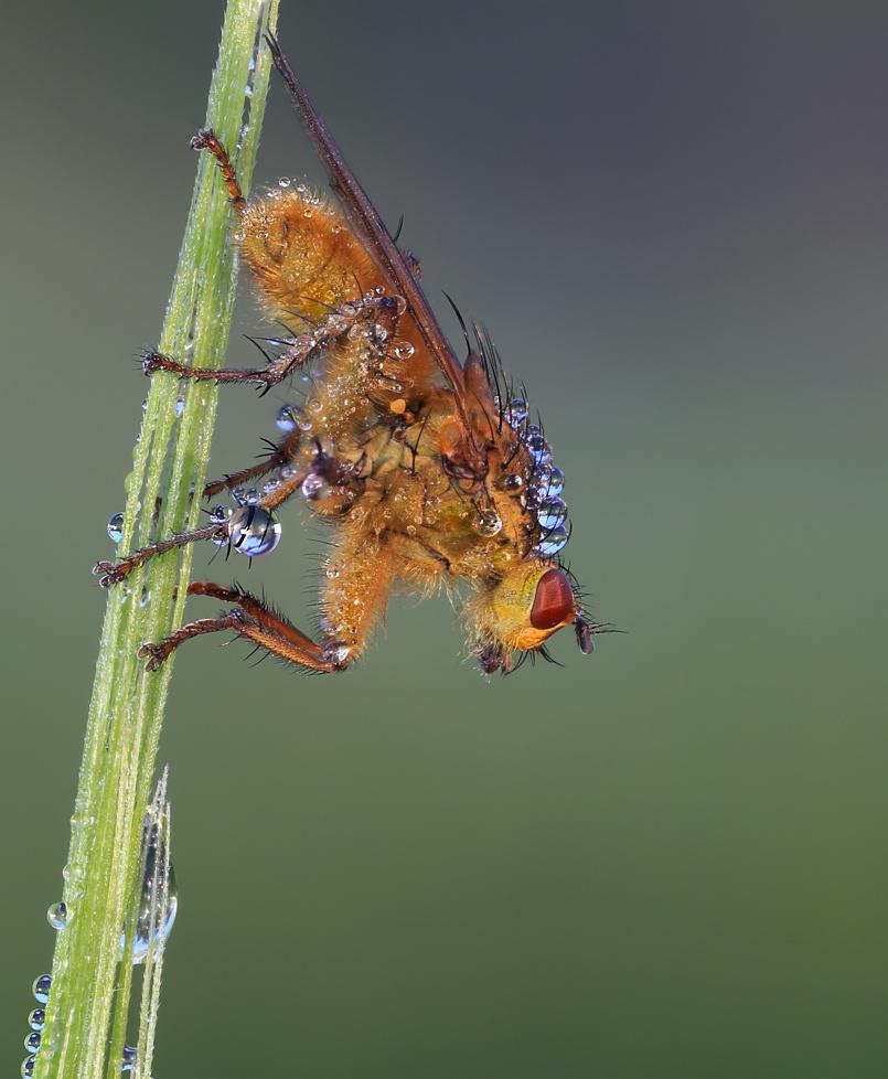 Scatophaga stercoraria….duodecimus