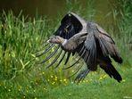 Scavenger ( Condor )