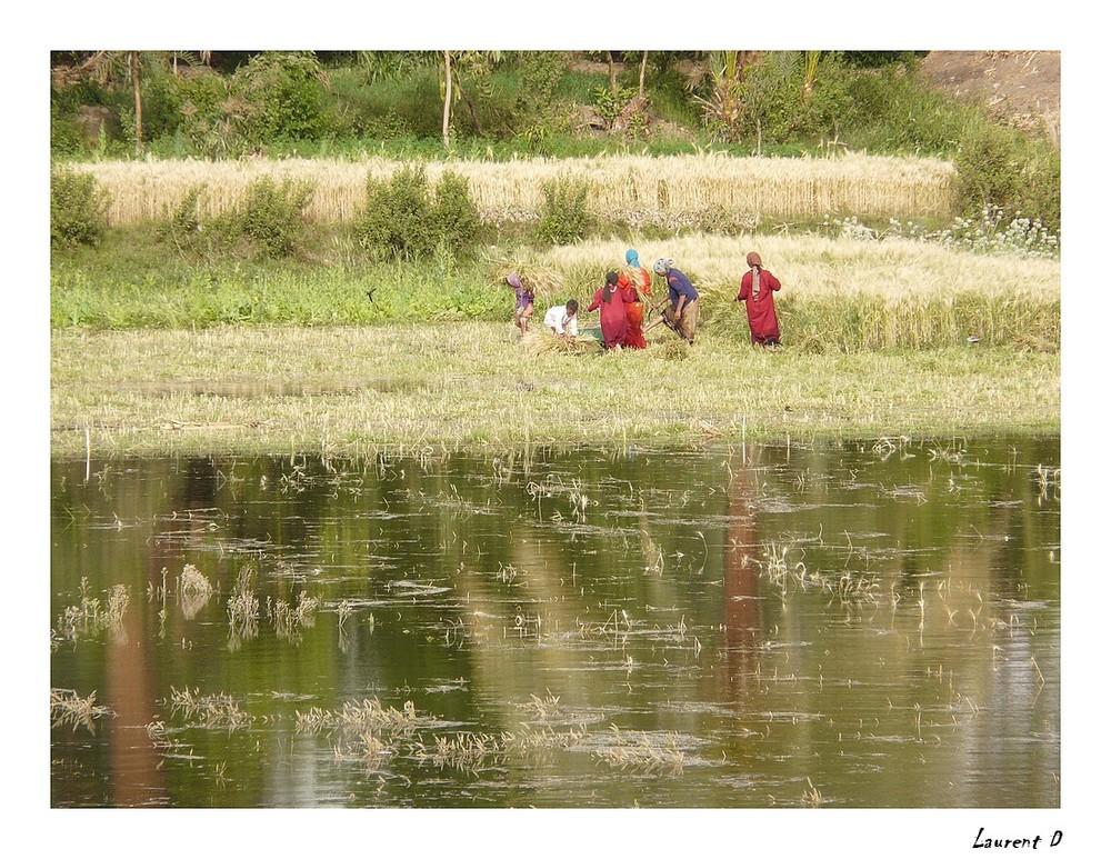 Scène de récolte du blé sur le bord du Nil