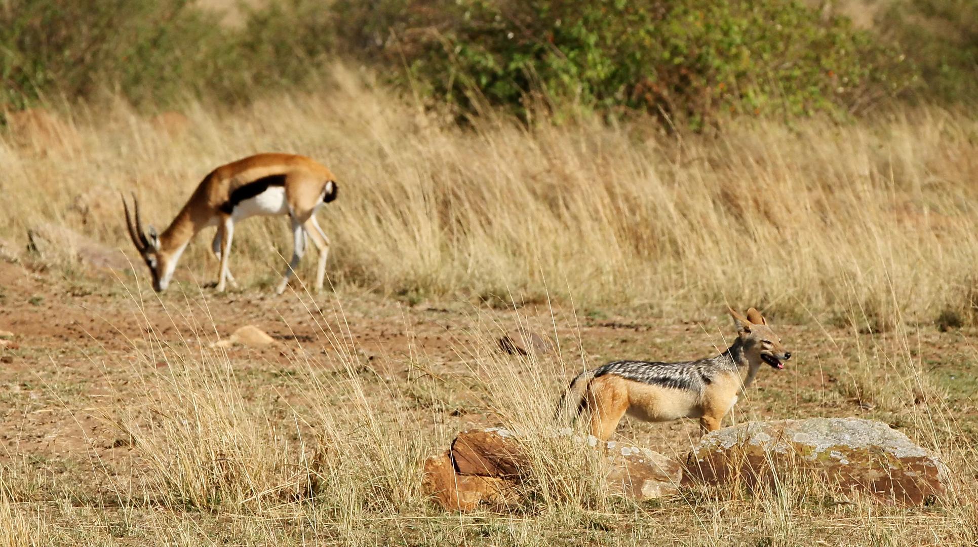 ....Schabrackenschakal und Thomson-Gazelle....