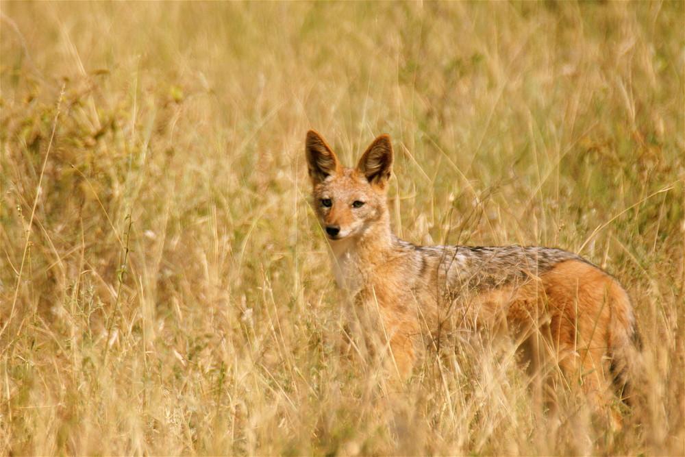 Schabrakenschakal - Canis mesomelas