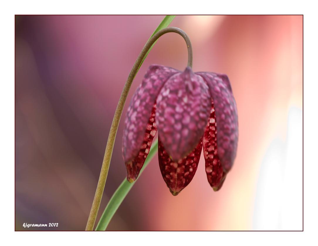Schachblume (Fritillaria meleagris).....