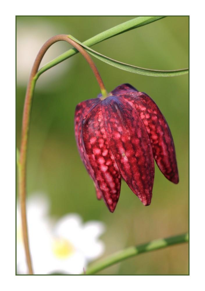 Schachblume (Schachbrettblume)