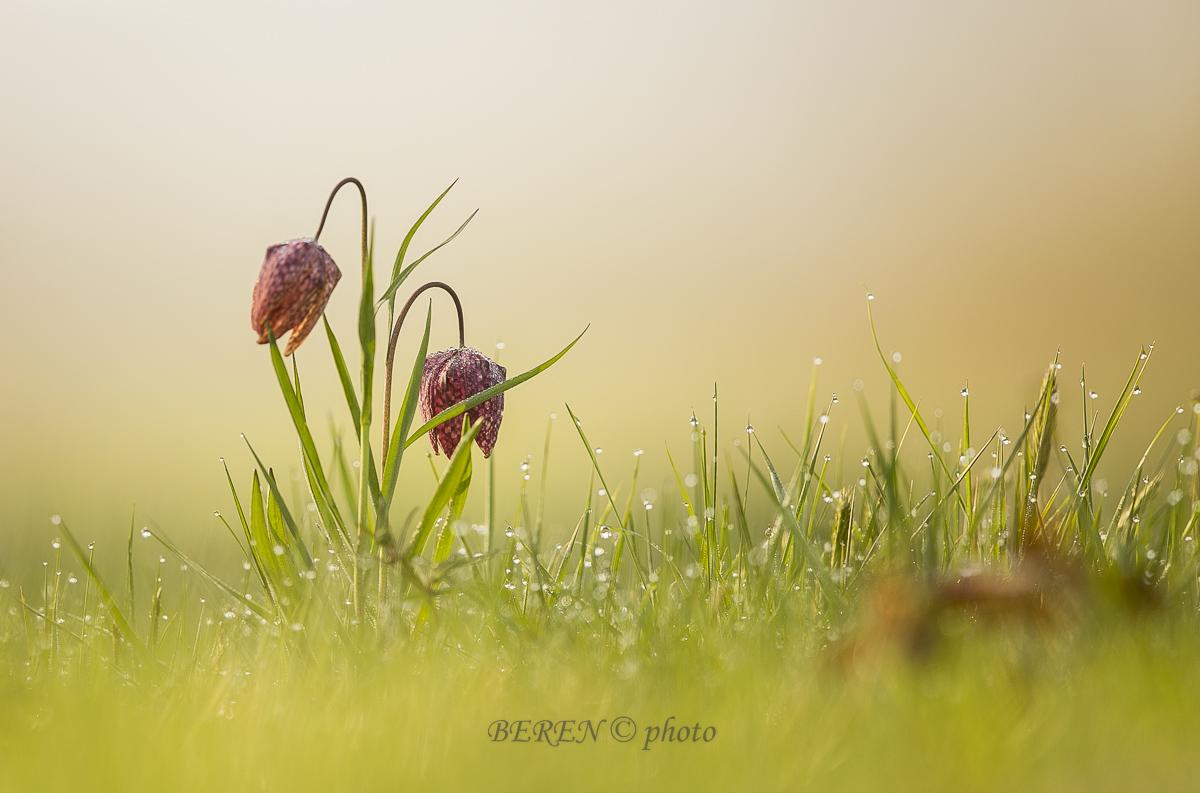Schachbrett-Blume