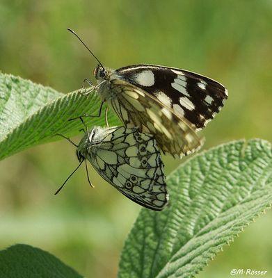 Schachbrett (Melanargia galanthea)....in Copula !