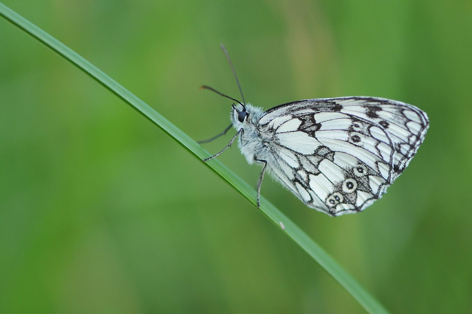 Schachbrett (Melanargia galathea), Männchen