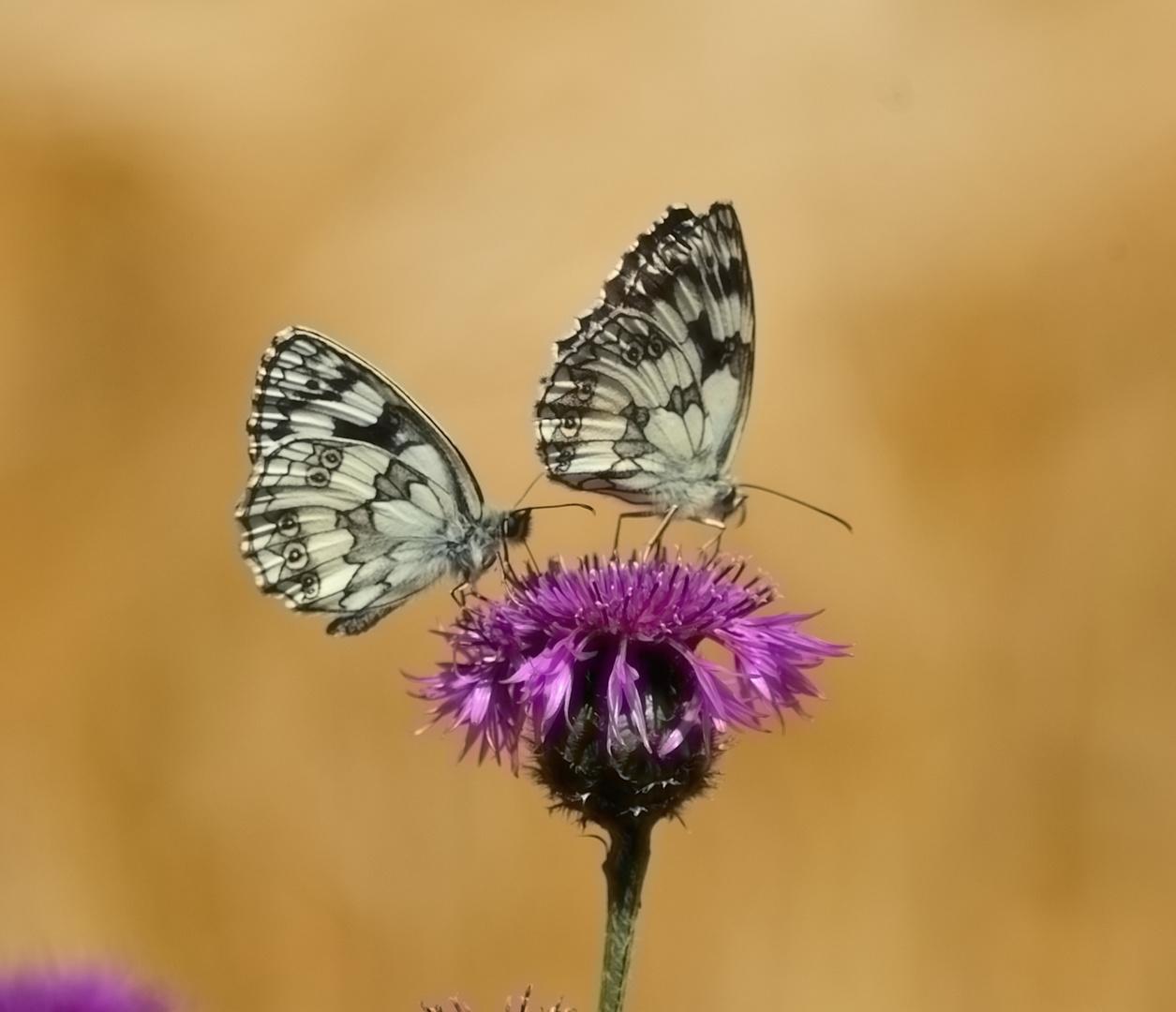 Schachbrett Schmetterlinge