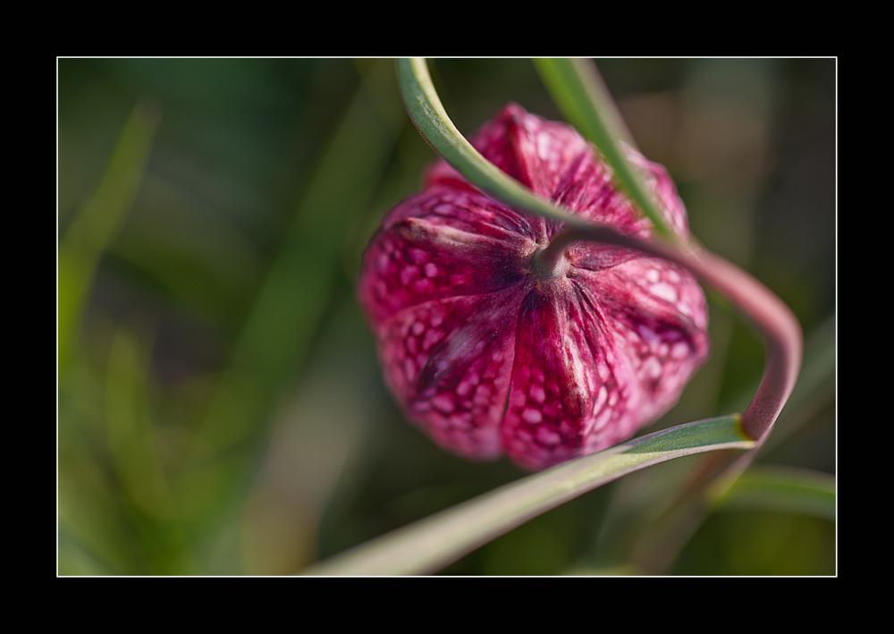 Schachbrettblume (Fritillaria meleagris) oder in Norddeutschland auch Kiebitzei genannt