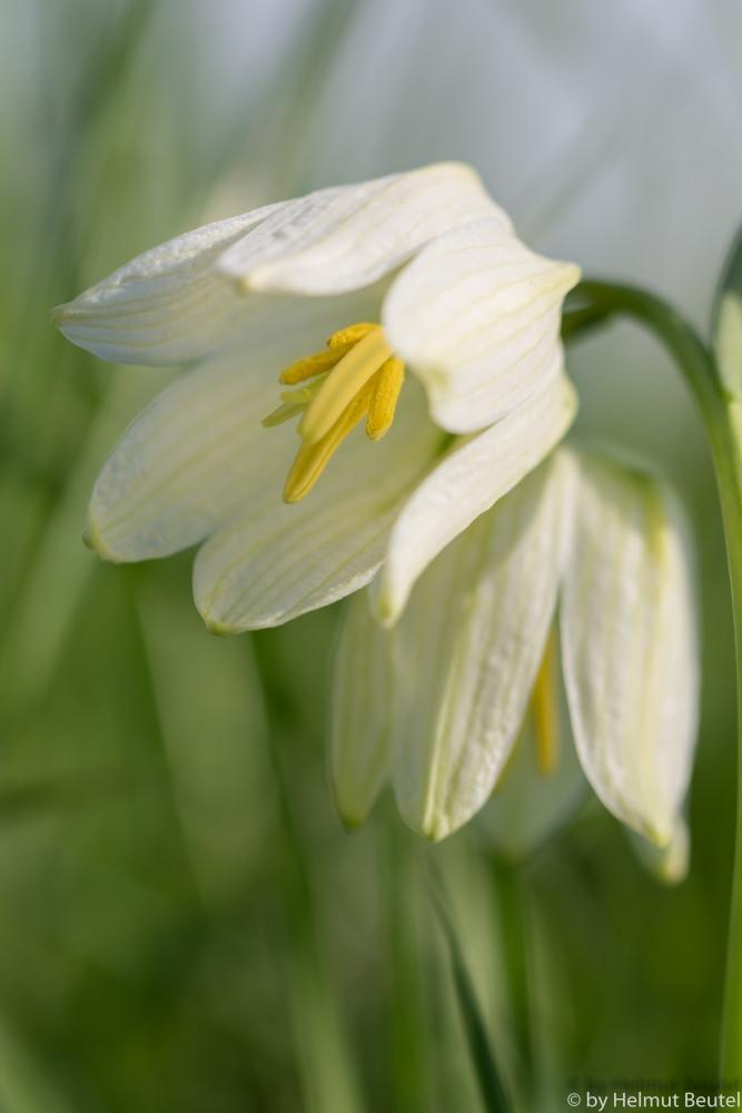 Schachbrettblume - ganz in weiß 4