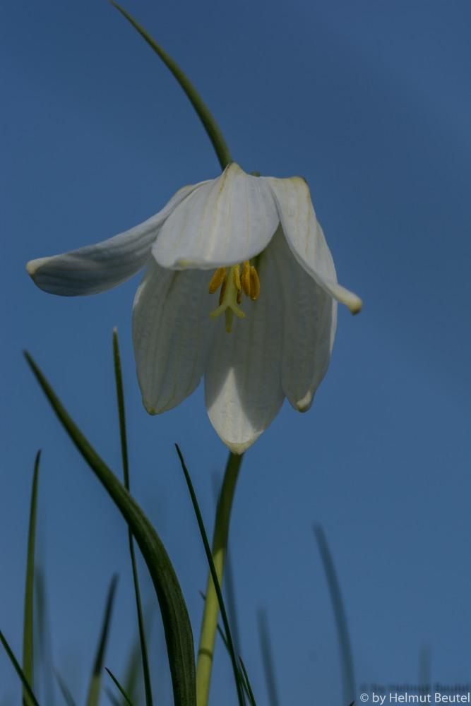 Schachbrettblume - ganz in weiß