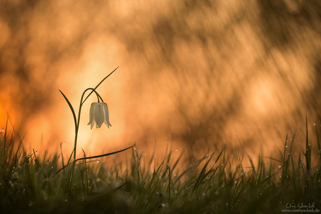 Schachbrettblume im Morgenlicht