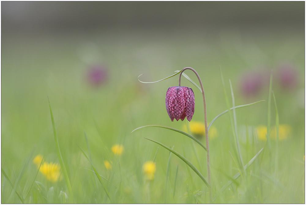 Schachbrettblumen Wiese