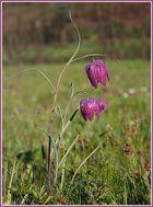 Schachbrettblumenpaar