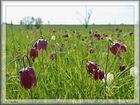 Schachbrettblumenwiese
