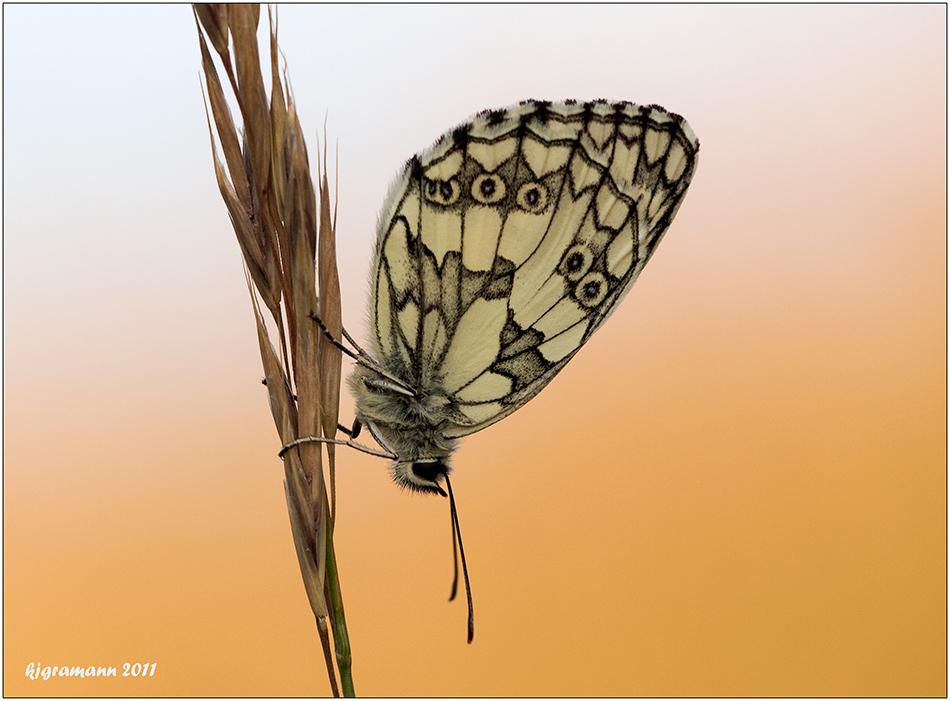 schachbrettfalter (Melanargia galathea) .....