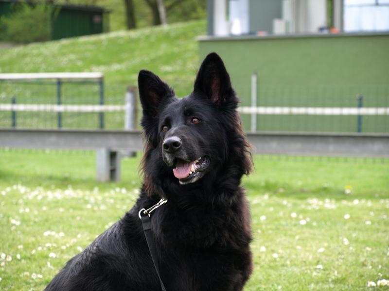 Schäferhund Haska
