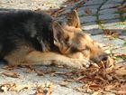 Schäferhund in der Herbstsonne