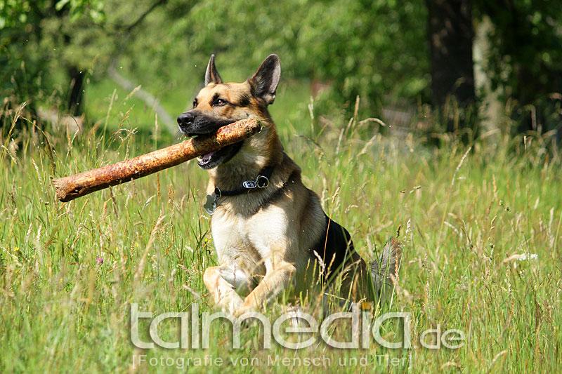 Schäferhund Schorsch und sein Zahnstocher ;)