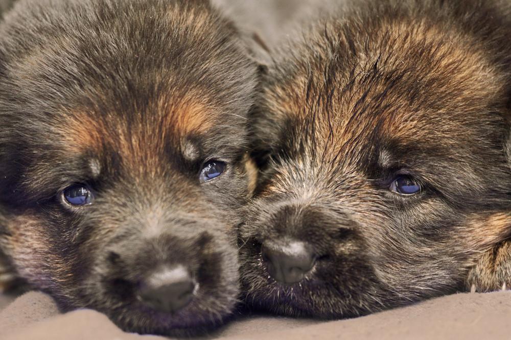 Schäferhundewelpen