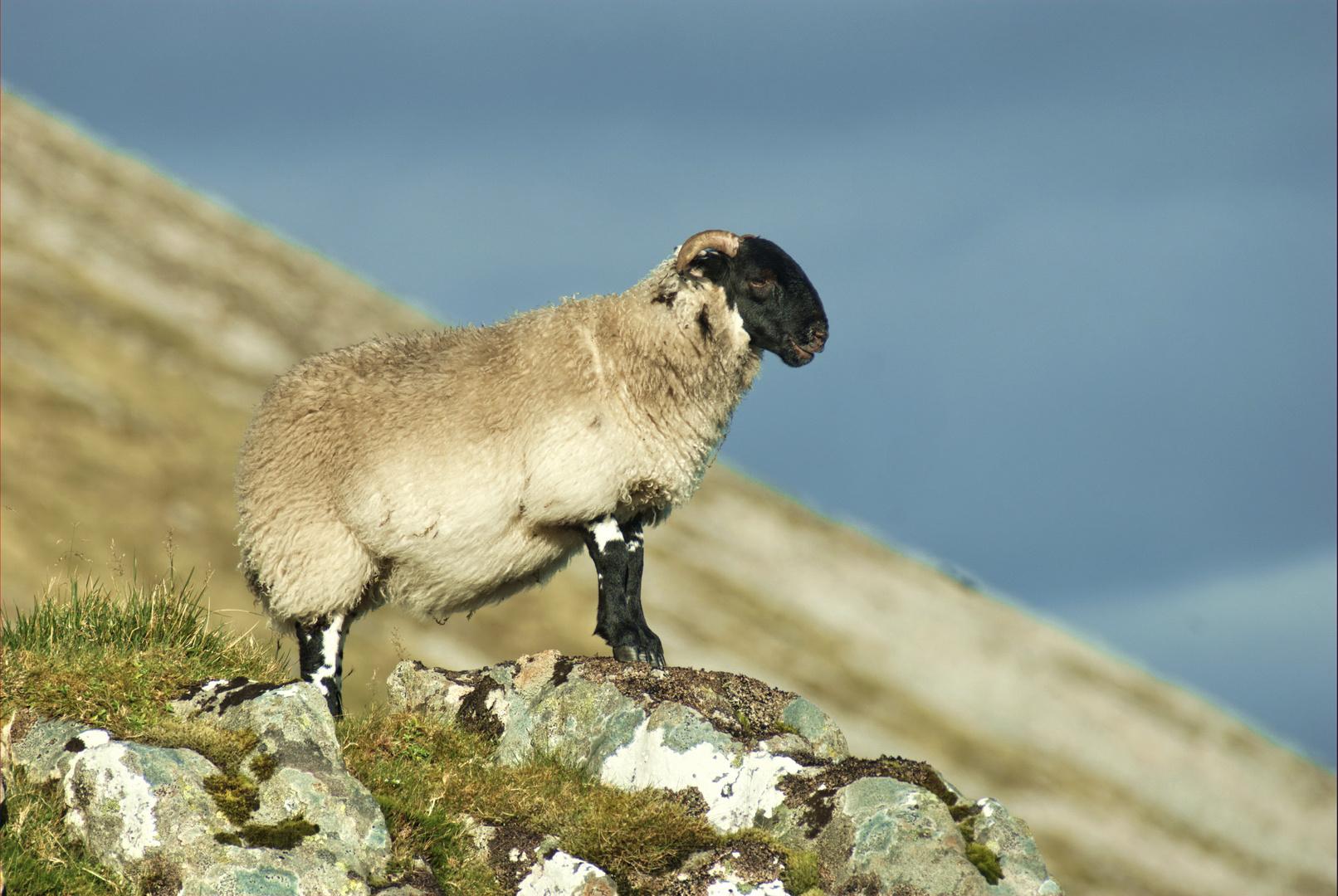 Schaf am Berg