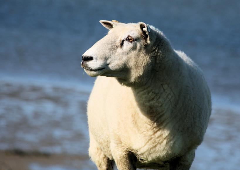 Schaf auf dem Deich