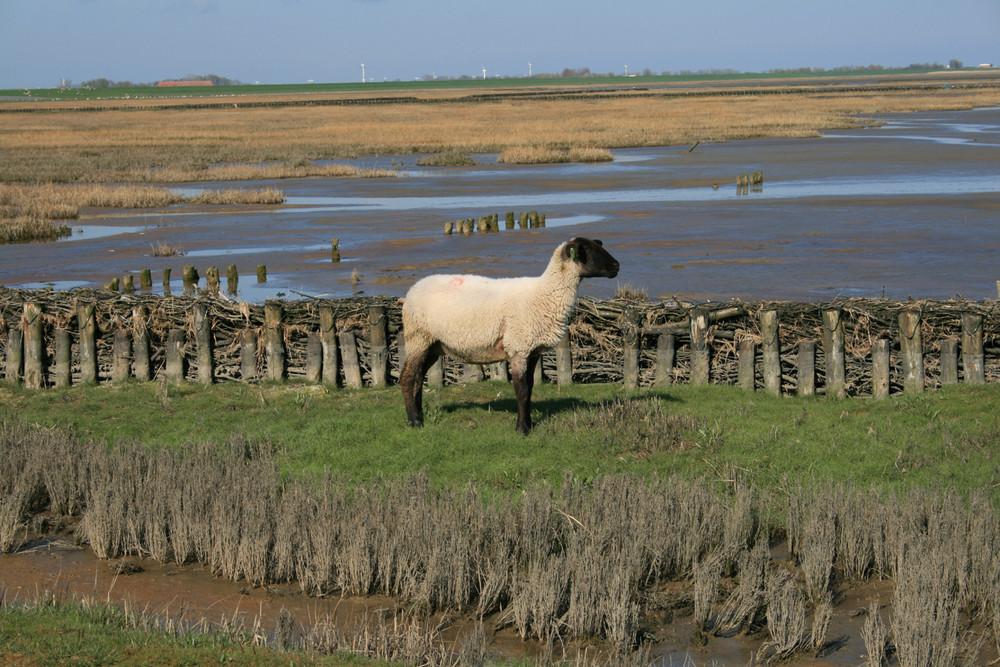 Schaf auf der Insel im Watt