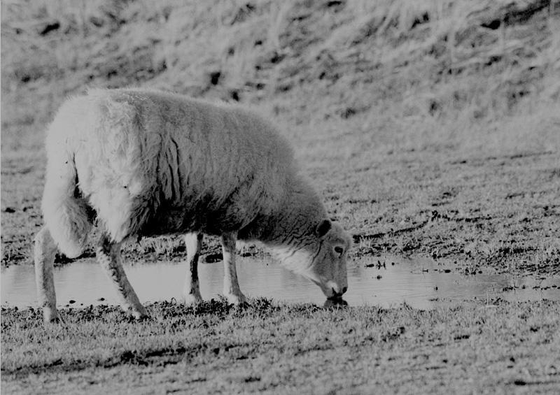 Schaf auf Sylt