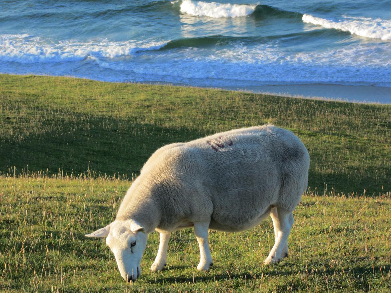 Schaf bei Durness