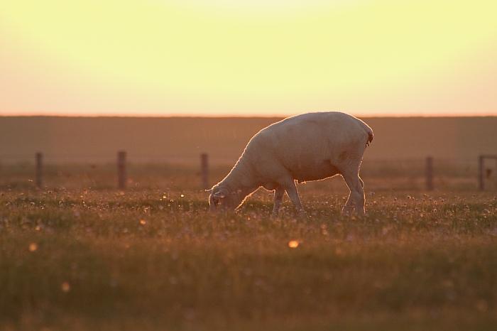 Schaf beim Sonnenaufgang
